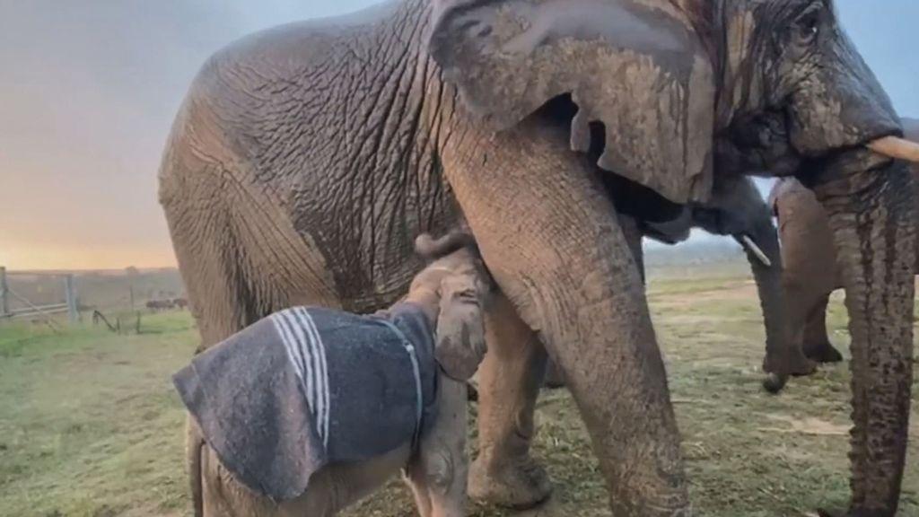 Khanyisa, the albino elephant calf, at the HERD elephant orphanage in South Africa. (HERD Elephant Orphanage South Africa/Zenger News)