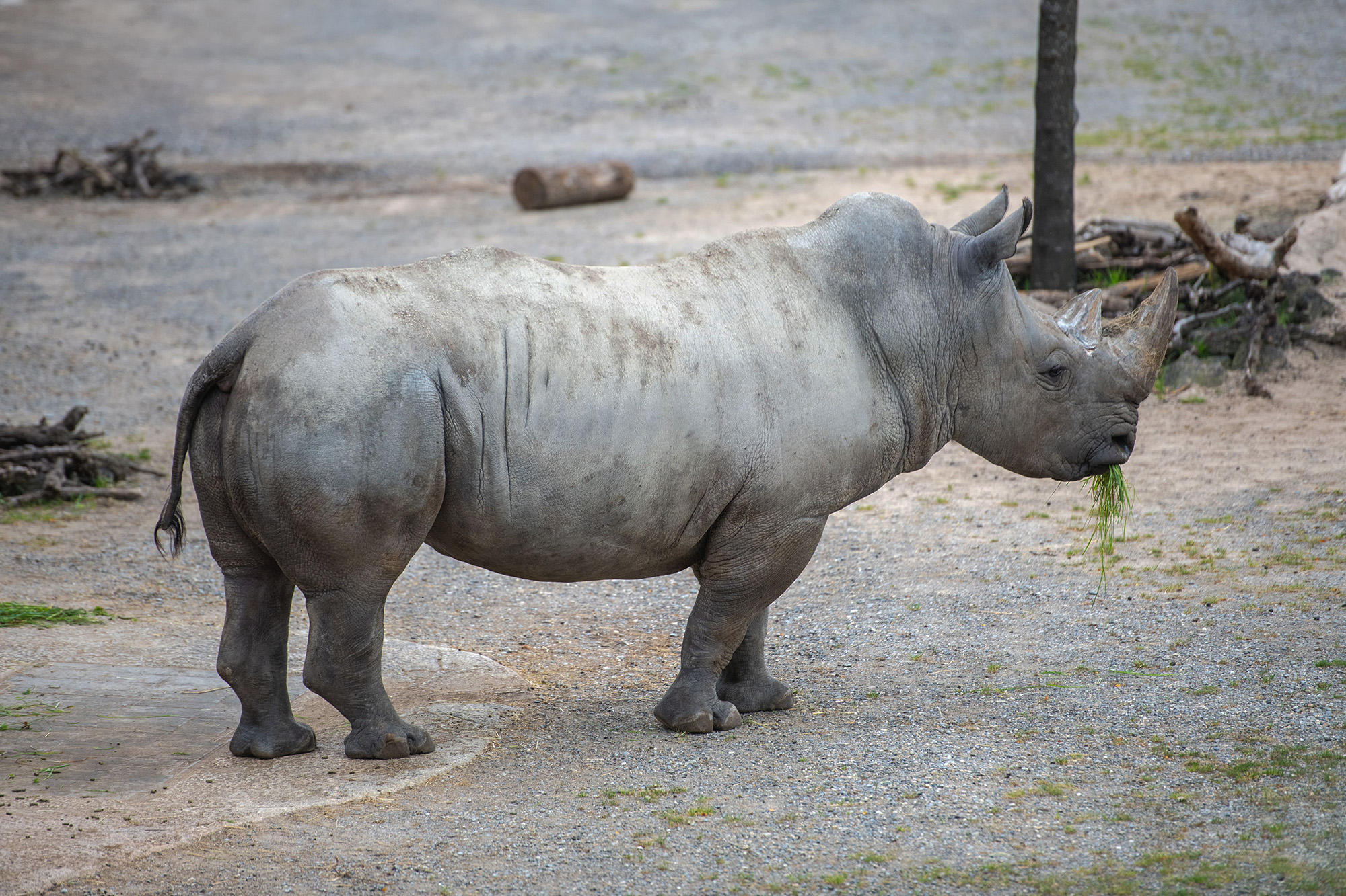 Twelve-year-old white rhino Kimba was brought to the Zurich Zoo in Switzerland to breed and help ensure continuation of the species. (Zoo Zurich, Pascal Marty/Zenger)