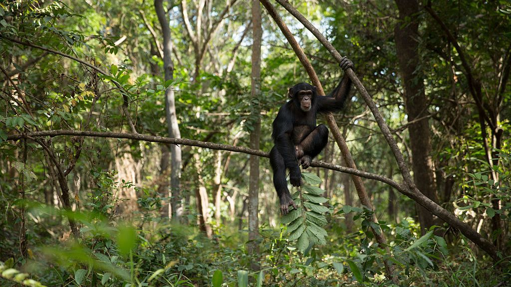 Male chimps who form strong relationships with other males have greater reproductive success, according to a new study, which may help explain friendships and cooperation among humans, too. Pictured, Sam sits in a tree during one of his daily bushwalks at the Chimpanzee Conservation Centre on November 30, 2015 in Somoria, Guinea. (Dan Kitwood/Getty Images)